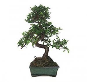 bonsai elegante